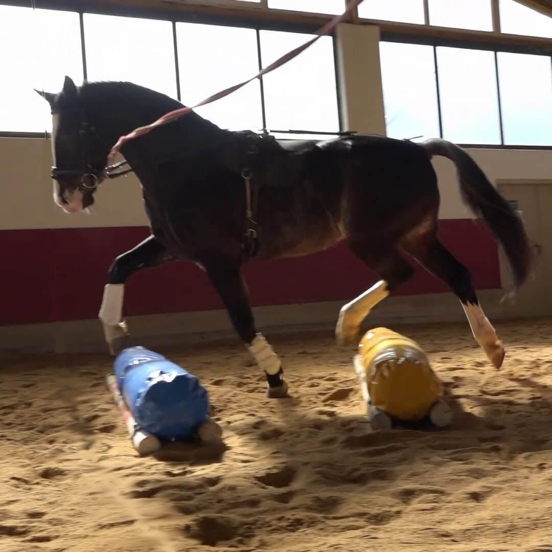 Pedro - Pferd im Trab an der Longe über Elemente